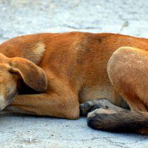 Aantal meldingen mogelijke rabiësbesmetting (hondsdolheid) neemt toe