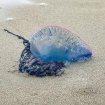 Stranden Benidorm tijdelijk dicht vanwege kwallen